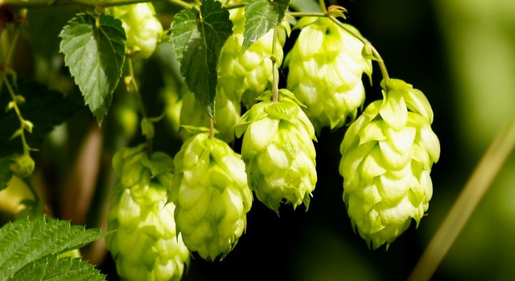 a picture of Oregon Hops